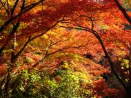 Asisbiz Maple trees Autumn leaves Kiyomizu dera Kyoto Japan Nov 2009 085