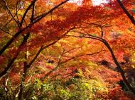 Asisbiz Maple trees Autumn leaves Kiyomizu dera Kyoto Japan Nov 2009 087