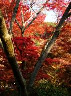 Asisbiz Maple trees Autumn leaves Kiyomizu dera Kyoto Japan Nov 2009 088