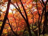 Asisbiz Maple trees Autumn leaves Kiyomizu dera Kyoto Japan Nov 2009 092