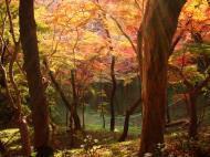 Asisbiz Maple trees Autumn leaves Kiyomizu dera Kyoto Japan Nov 2009 094