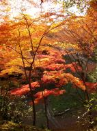 Asisbiz Maple trees Autumn leaves Kiyomizu dera Kyoto Japan Nov 2009 107