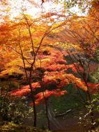 Asisbiz Maple trees Autumn leaves Kiyomizu dera Kyoto Japan Nov 2009 107