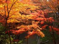 Asisbiz Maple trees Autumn leaves Kiyomizu dera Kyoto Japan Nov 2009 109