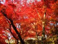 Asisbiz Maple trees Autumn leaves Kiyomizu dera Kyoto Japan Nov 2009 114