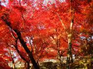 Asisbiz Maple trees Autumn leaves Kiyomizu dera Kyoto Japan Nov 2009 114