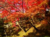 Asisbiz Maple trees Autumn leaves Kiyomizu dera Kyoto Japan Nov 2009 115