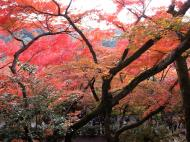 Asisbiz Maple trees Autumn leaves Kiyomizu dera Kyoto Japan Nov 2009 116