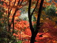 Asisbiz Maple trees Autumn leaves Kiyomizu dera Kyoto Japan Nov 2009 121