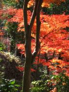 Asisbiz Maple trees Autumn leaves Kiyomizu dera Kyoto Japan Nov 2009 122