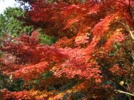 Asisbiz Maple trees Autumn leaves Kiyomizu dera Kyoto Japan Nov 2009 123