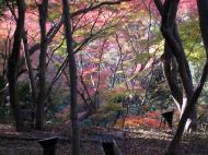 Asisbiz Maple trees Autumn leaves Kiyomizu dera Kyoto Japan Nov 2009 124