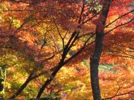 Asisbiz Maple trees Autumn leaves Kiyomizu dera Kyoto Japan Nov 2009 126
