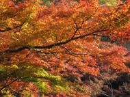 Asisbiz Maple trees Autumn leaves Kiyomizu dera Kyoto Japan Nov 2009 127