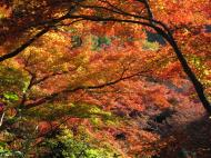 Asisbiz Maple trees Autumn leaves Kiyomizu dera Kyoto Japan Nov 2009 128