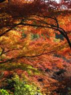 Asisbiz Maple trees Autumn leaves Kiyomizu dera Kyoto Japan Nov 2009 129
