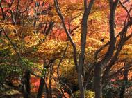 Asisbiz Maple trees Autumn leaves Kiyomizu dera Kyoto Japan Nov 2009 130