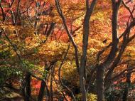 Asisbiz Maple trees Autumn leaves Kiyomizu dera Kyoto Japan Nov 2009 130
