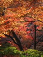 Asisbiz Maple trees Autumn leaves Kiyomizu dera Kyoto Japan Nov 2009 132