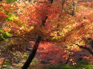 Asisbiz Maple trees Autumn leaves Kiyomizu dera Kyoto Japan Nov 2009 133