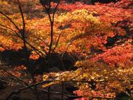 Asisbiz Maple trees Autumn leaves Kiyomizu dera Kyoto Japan Nov 2009 134