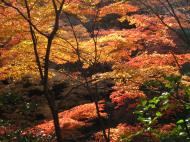 Asisbiz Maple trees Autumn leaves Kiyomizu dera Kyoto Japan Nov 2009 135