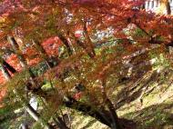 Asisbiz Maple trees Autumn leaves Kiyomizu dera Kyoto Japan Nov 2009 136
