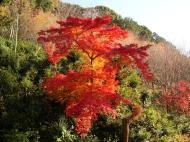 Asisbiz Maple trees Autumn leaves Kiyomizu dera Kyoto Japan Nov 2009 139
