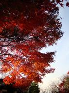 Asisbiz Maple trees Autumn leaves Kiyomizu dera Kyoto Japan Nov 2009 142