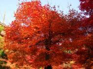 Asisbiz Maple trees Autumn leaves Kiyomizu dera Kyoto Japan Nov 2009 143