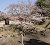 Asisbiz Cherry blossoms along the path heading towards Kasuga Grand Shrine Nara 01