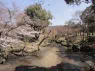 Asisbiz Cherry blossoms along the path heading towards Kasuga Grand Shrine Nara 02
