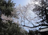 Asisbiz Kofuku ji Temple area walk way white cherry blossoms Mar 2010 01