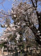 Asisbiz Todai ji pathway to the great bell sakura season 01