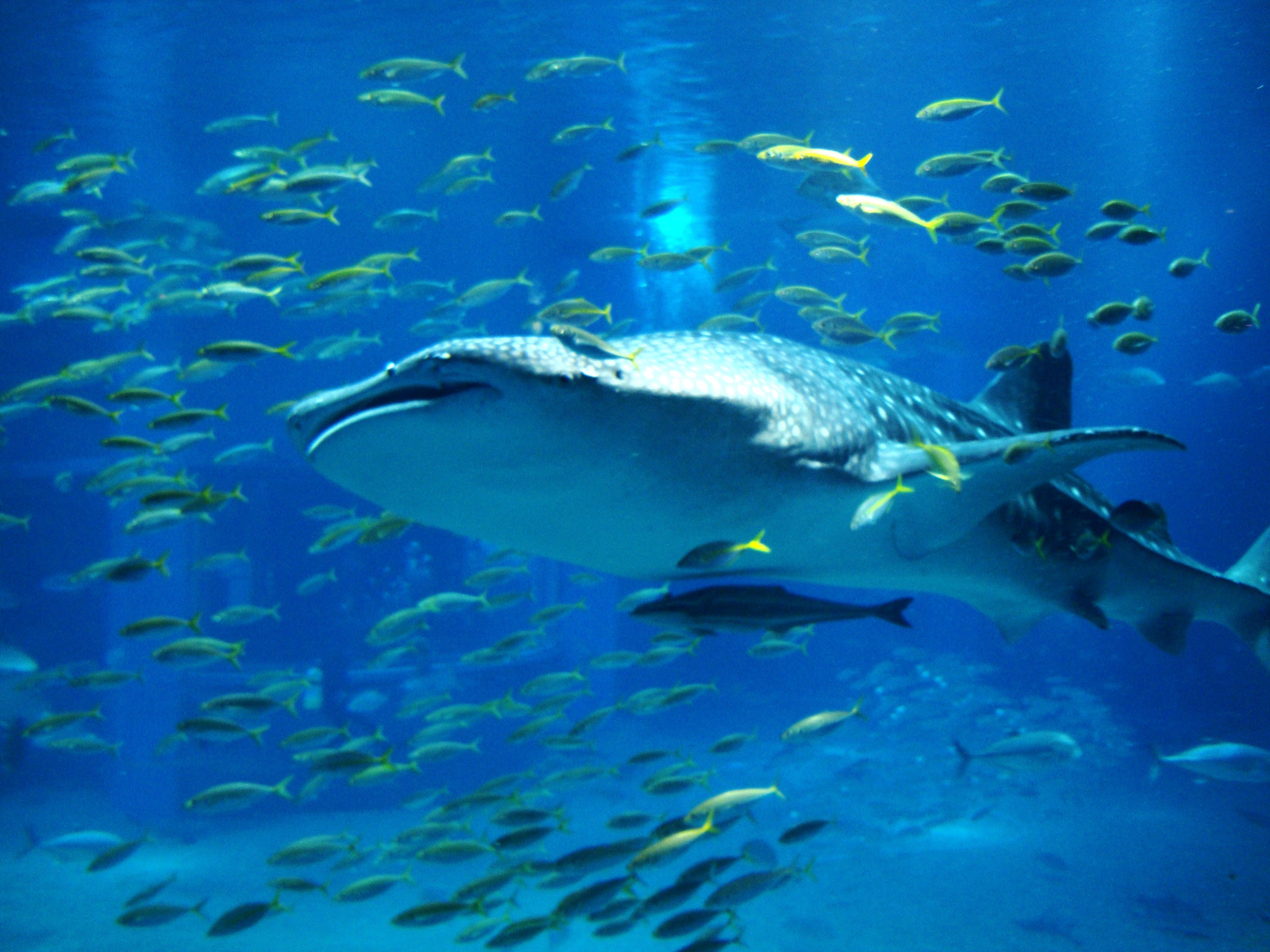 Asisbiz Photo's of Osaka Aquarium Kaiyukan,海遊館,Kaiyūkan,Japan
