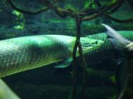 Asisbiz Osaka Aquarium Kaiyukan Arapaima gigas fish Japan Nov 2009 01