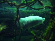 Asisbiz Osaka Aquarium Kaiyukan Arapaima gigas fish Japan Nov 2009 05