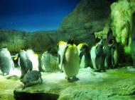 Asisbiz Osaka Aquarium Kaiyukan King Penguin 7 Floor Japan Nov 2009 03