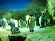 Asisbiz Osaka Aquarium Kaiyukan King Penguin 7 Floor Japan Nov 2009 05