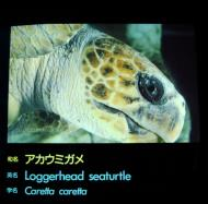 Asisbiz Osaka Aquarium Kaiyukan Loggerhead seaturtle 5 Floor Japan Nov 2009 01