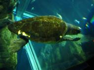 Asisbiz Osaka Aquarium Kaiyukan Loggerhead seaturtle 5 Floor Japan Nov 2009 05