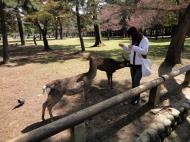 Asisbiz Deer in central Nara are very friendly and can smell food a mile away 01