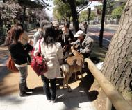 Asisbiz Deer roaming in central Nara are very friendly curious and aways hungry 01