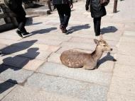 Asisbiz Japanese Deer sun bathing and very reluctant to move Nara Japan 01
