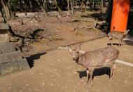 Asisbiz Roaming Spotted Deer around the UNESCO World Heritage shrines 01