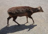 Asisbiz Sika deer are farmed for their antlers Nara Japan 01