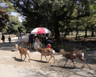 Asisbiz Sika deer congregating around the biscuit venders form a symbiotic relationship 01