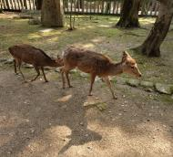 Asisbiz Sika deer female doe and young cafe Nara Japan 01
