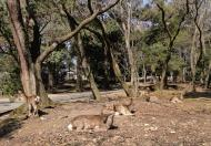 Asisbiz Spotted Deer enjoying the sunny weather Nara Japan 01