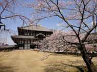 Asisbiz 1 Todaiji Daibutsuden cherry trees Japan 07